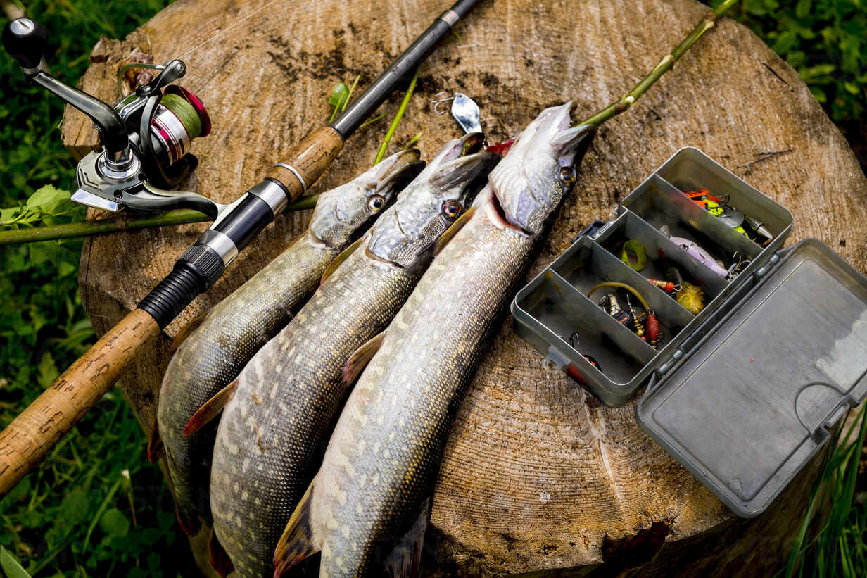 High angle view of caught fish with fishing equipment on tree stump